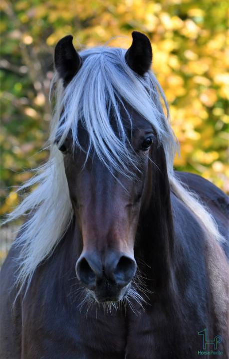 اسب نژاد مورگان