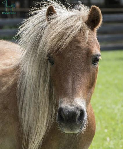 اسب نژاد مینیاتوری