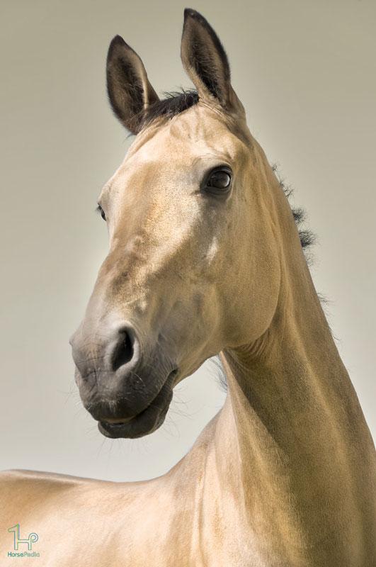 اسب نژاد ترکمن