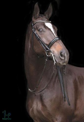 نژاد اسب خون گرم هلندی